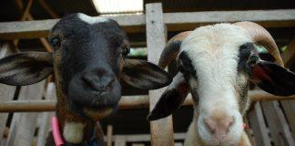 domba berkualitas