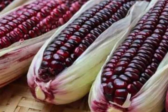 jagung ungu