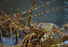 penangkapan benih bening lobster