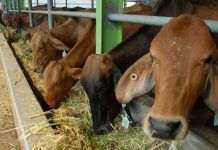 kandang sapi potong