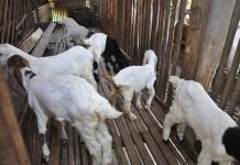 kandang kambing