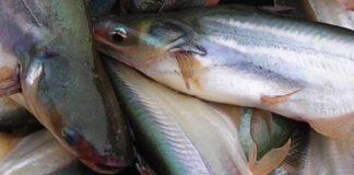 memelihara ikan patin