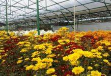 manfaat bunga krisan