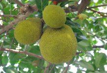 buah sukun