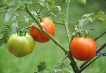 panen tomat