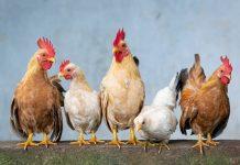 legalitas usaha peternakan