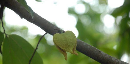 pestisida alami dari sirsak