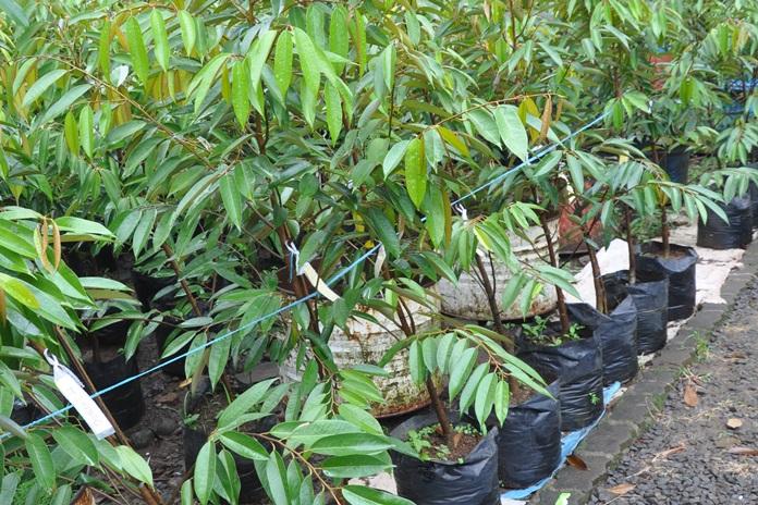 menanam durian