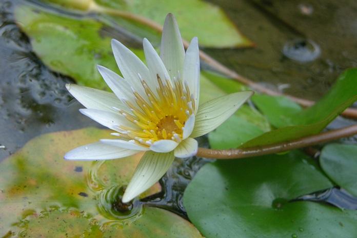 air tanaman hias