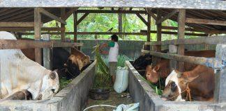 kandang penggemukan sapi