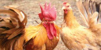 pembesaran ayam kampung