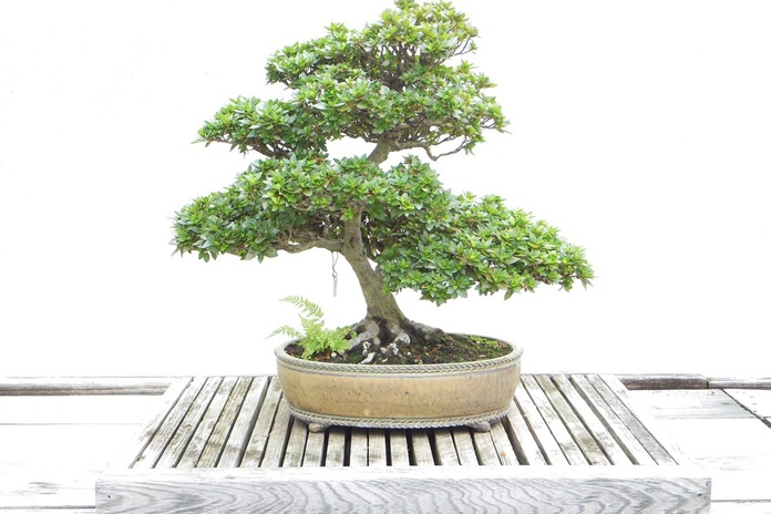 nilai seni bonsai