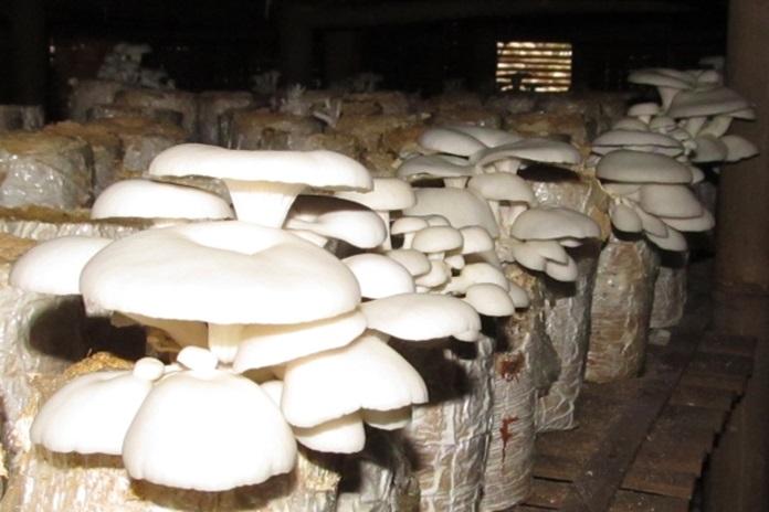 budidaya jamur