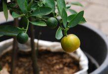 buah di dalam pot