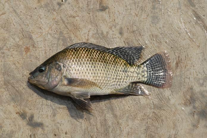 kolagen kulit ikan nila