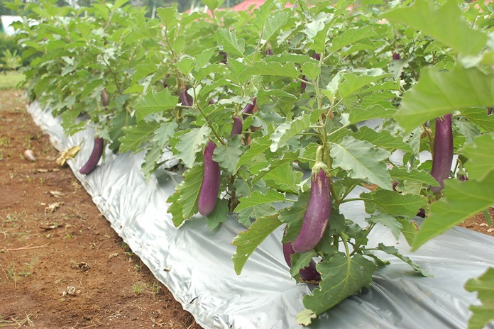 cara menanam terung