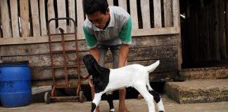 kelahiran kambing tidak normal