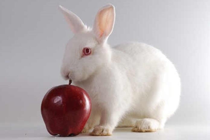 mengangkat kelinci