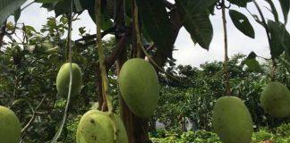 penyakit pohon mangga chokanan