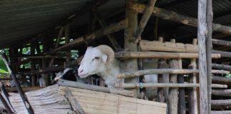 meningkatkan bobot kambing potong