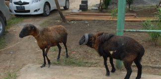 merawat domba