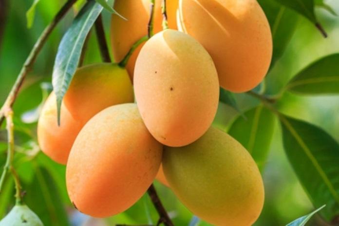 pohon mangga chokanan