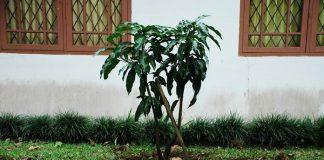 menanam mangga chokanan