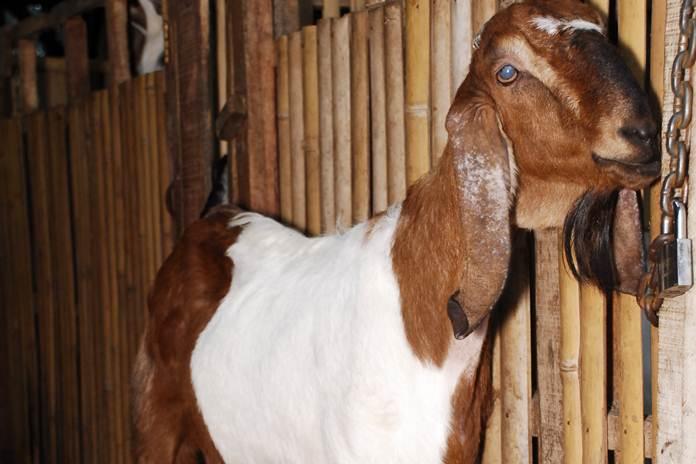 menentukan umur kambing