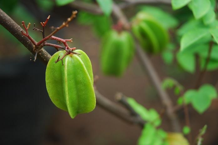 merangsang pohon belimbing