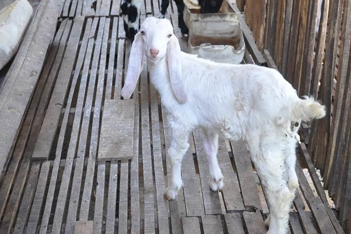 probiotik untuk kambing potong