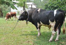 kegagalan vaksin sapi