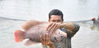 jenis ikan gurami