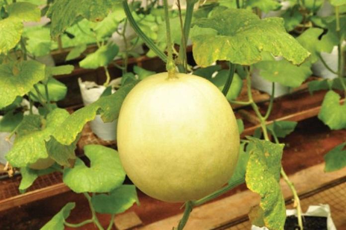menanam melon