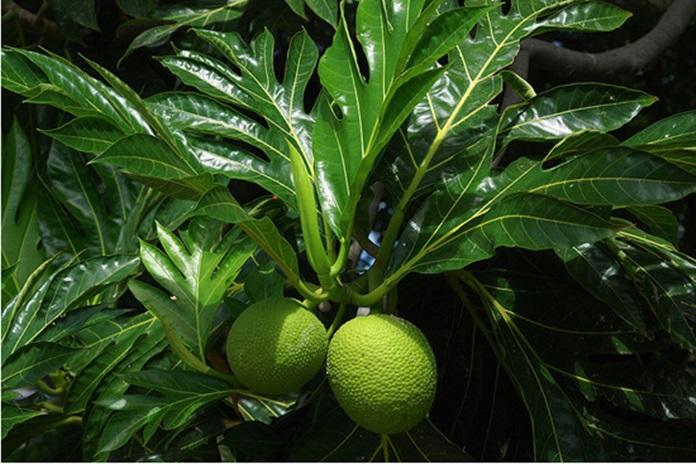 pohon sukun