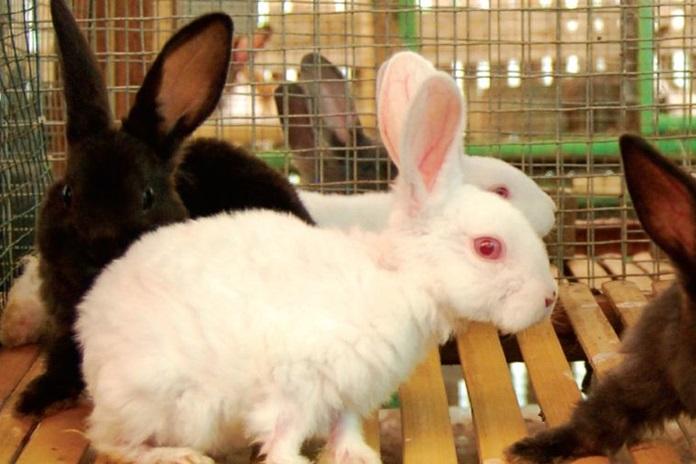 manfaat kelinci