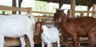 kandang kambing yang ideal