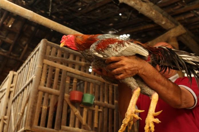 peran ayam