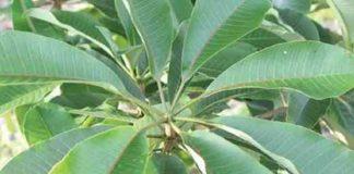 pohon rawa