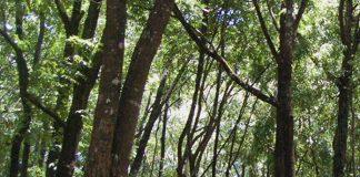 pohon kemenyan