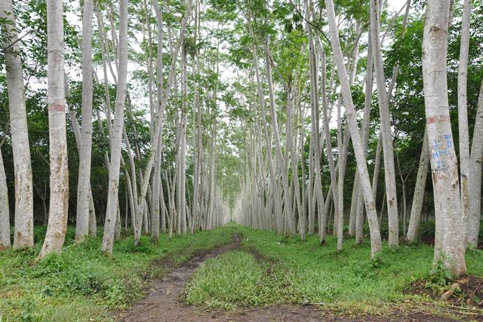 tanaman hutan industri