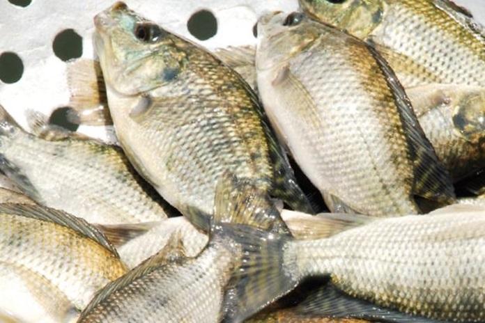 baby fish nila