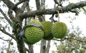 komoditas tanaman buah
