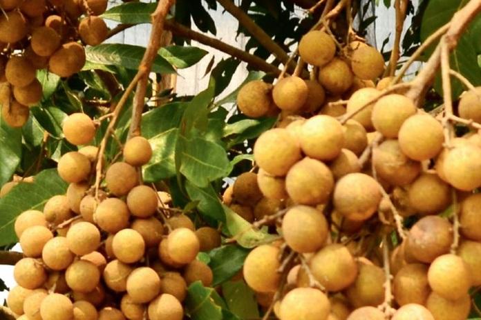 pohon lengkeng