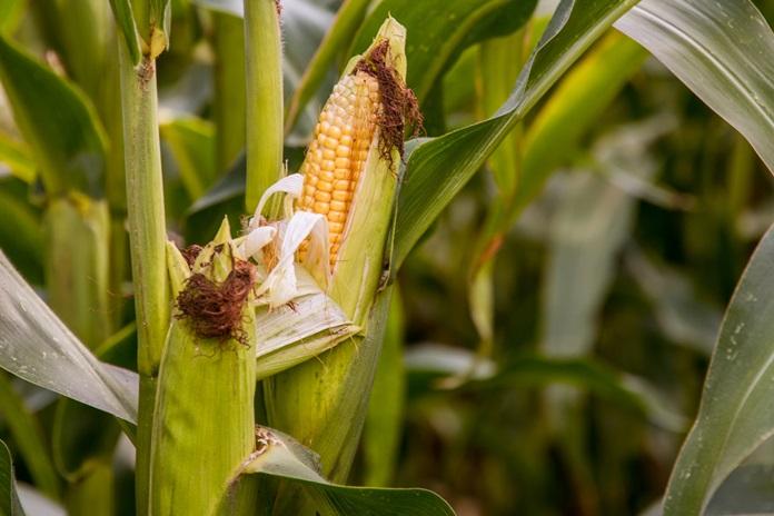 memelihara tanaman jagung
