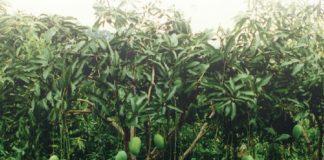 menanam mangga alpukat