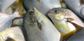 mencegah ikan bawal sakit
