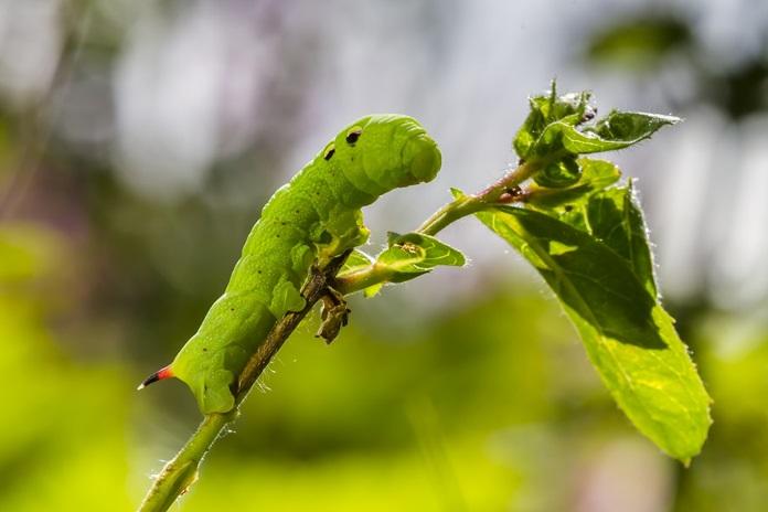 Cara Mengatasi Ulat Buah Pada Pohon Tomat Artikel Pertanian Terbaru Berita Pertanian Terbaru