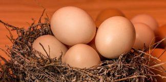 telur tetas ayam