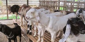 bibit kambing peranakan etawa