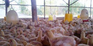 masa istirahat kandang ayam